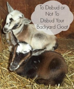The Disbudding Goats Question: To Disbud Or Not To Disbud Your Backyard Goat