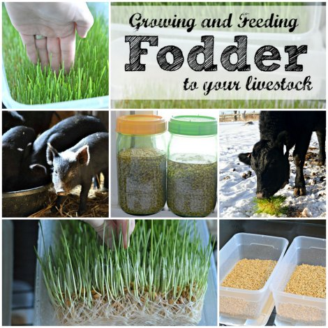 how to grow wheat grass fodder