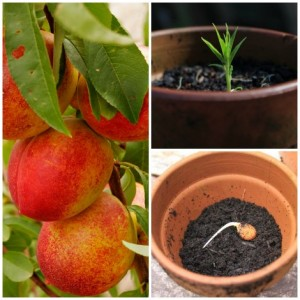 How To Grow Nectarines From Seed