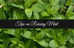 Tips On Growing Mint