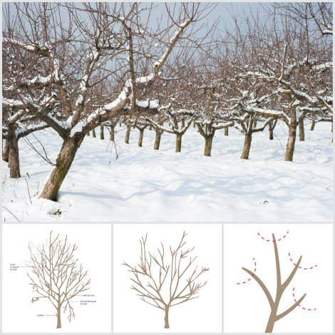 prune-fruit-trees
