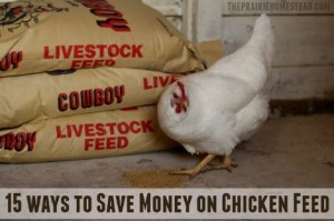 save-money-on-chicken-feed