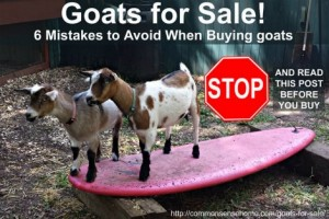 6 Mistakes To Avoid When Buying Goats