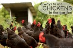 8 Ways To Use Chickens In Your Garden