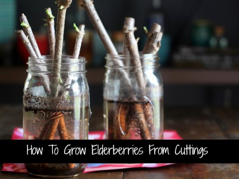 grow-elderberries