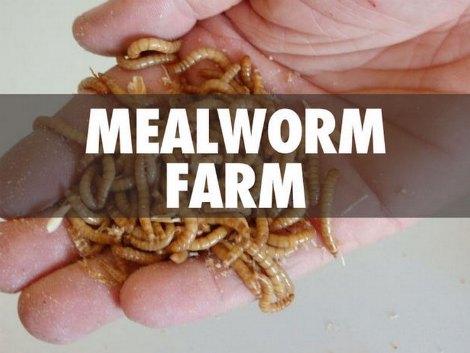 mealworm-farm