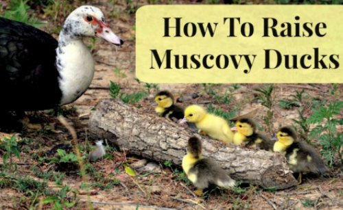 muscovy-ducks