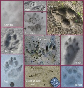 Poultry Predator Identification: A Guide to Tracks And Signs