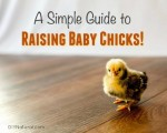 A Simple Guide To Raising Baby Chicks