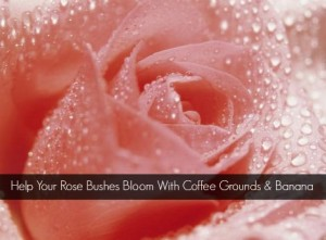 Help Your Rose Bushes Bloom With Coffee Grounds And Banana
