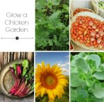 How To Grow A Chicken Feed Garden