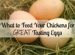 What To Feed Chickens For Great Tasting Eggs
