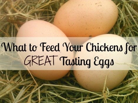 feed-chickens-for-great-tasting-eggs