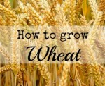 How To Grow Wheat