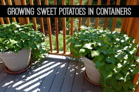 Growing Sweet Potatoes In Containers