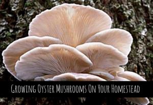 Growing Oyster Mushrooms On Your Homestead