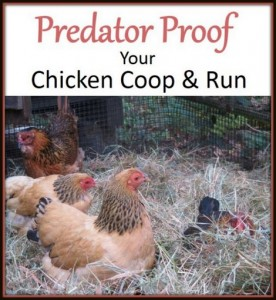 Predator Proof Your Chicken Coop And Run