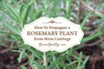 How To Propagate Rosemary Plant From Stem Cuttings