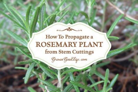 propagate-rosemary