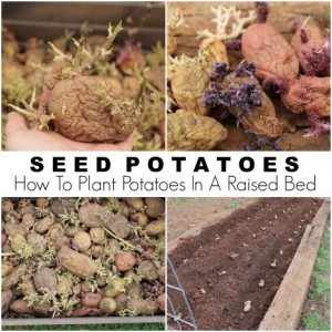 Seed Potatoes And How To Plant Potatoes In A Raised Bed