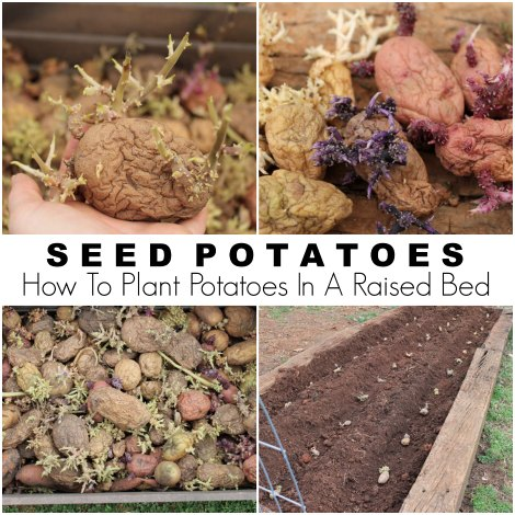 Seed Potatoes And How To Plant In A Raised Bed