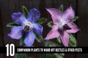 10 Companion Plants To Ward Off Beetles And Other Pests