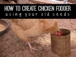 How To Create Chicken Fodder Using Old Seeds