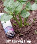 Easy DIY Earwig Trap For Your Garden