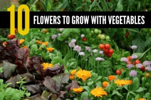 flowers-to-grow-with-vegetables