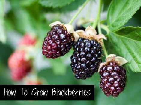 grow-blackberries