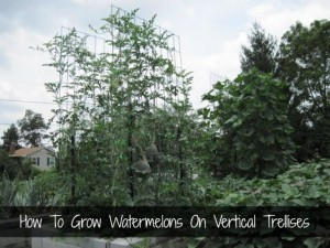 How To Grow Watermelons On Vertical Trellises