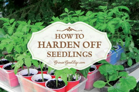 harden-off-seedlings