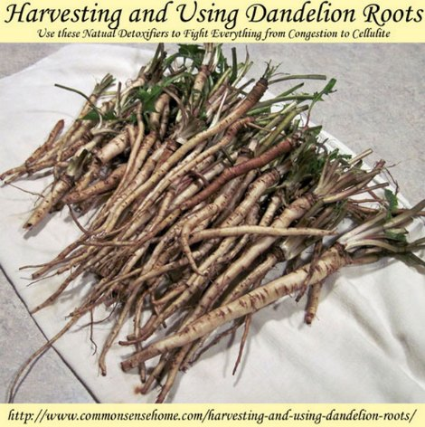 harvest-dandelion-root