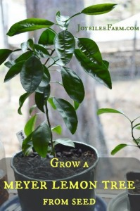 How To Grow A Meyer Lemon Tree From Seed