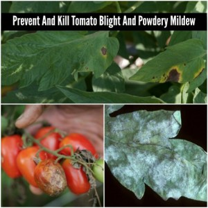How To Prevent Tomato Blight And Powdery Mildew With Baking Soda