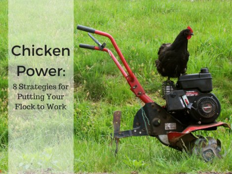 putting-your-chicken-flock-to-work