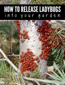 release-ladybugs-into-your-garden