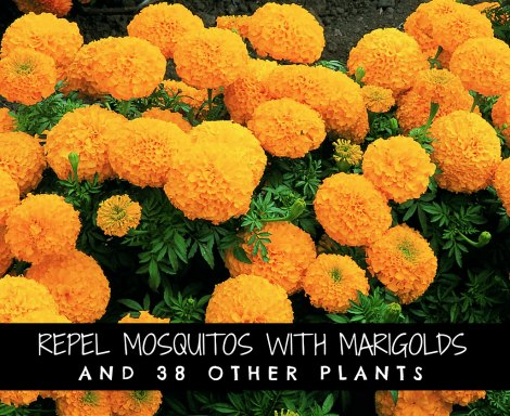 repel-mosquitoes-with-marigolds