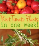 How To Get Many Tomato Plants In A Week From One Plant