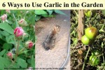 6 Ways To Use Garlic In The Garden