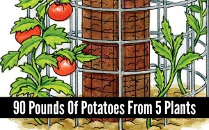 90-poundsof-potatoes-from-5-plants