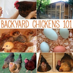 Guide: Backyard Chickens 101
