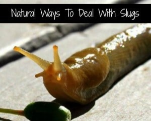 Natural Ways To Deal With Slugs