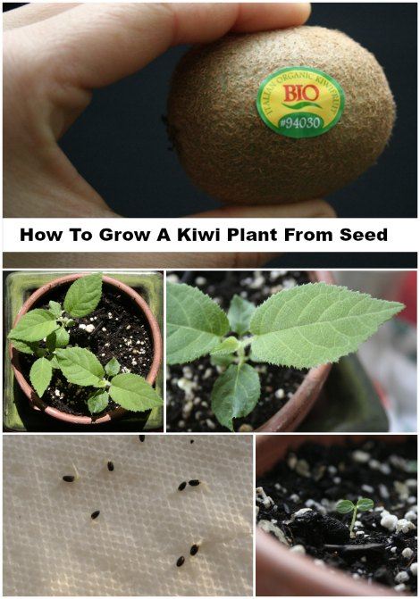 grow-a-kiwi-plant-from-seed
