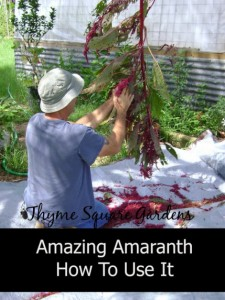 Growing Amaranth As A Homesteading Grain And How To Use It