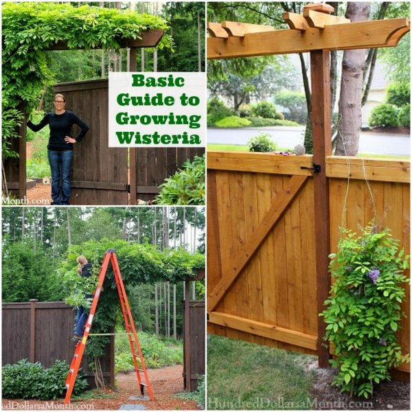 growing-wisteria