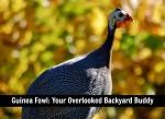 Guinea Fowl: Your Overlooked Backyard Buddy