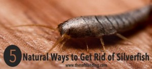 5 Natural Ways To Get Rid Of Silverfish