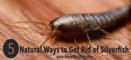 All Natural Way To Get Rid Of Silverfish