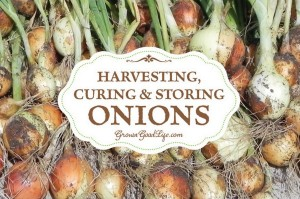 Harvesting, Curing, And Storing Onions Guide